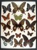 12 x 16 frame of Papilio antenor, P. memnon, P. rumanzovia, P. polymnestor.