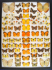 12 x 16 frame of Pieridae - 71 examples Orange tip and others.