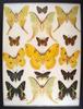 12 x 16 frame of Leopa katinka, Actias selene, Sunset moth, Actias sinensis - China.