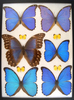 12 x 16 frame of Morphos didius, mestira, and other large morpho species.