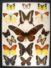 12 x 16 frame of Papilio antimachus, 2 map sp., 2 dog face, and 4 pieridae large orange tips.