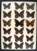 Intergrades! 12 x 16 frame of Red Admiral from the 1930's.  Size not found today.