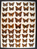 12 x 16 frame of misc species from the 1930's and 1940's.