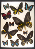 Frame of Ornithoptera troides hypolitus, rothschildia, Prepona sp., Agrias, sp. US SHIPPING ONLY!