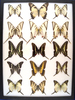 12 x 16 frame of Papilios (15) from Central and South America: Kite Swallowtails.