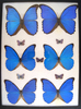 12 x 16 frame of 6 beautiful blue Morphos from South America.