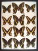 12 x 16 frame of Papilio palamedes.  Papilio ornythion, and trolius - Green Clouded.
