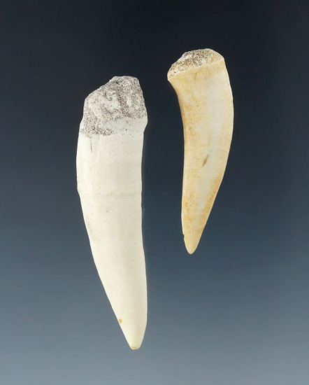 """Pair of fossilized Giant Herring teeth - Largest is 2 7/16""""."""