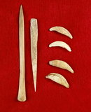 Set including four undrilled canine teeth and bone all in good condition. Largest is 5 11/16