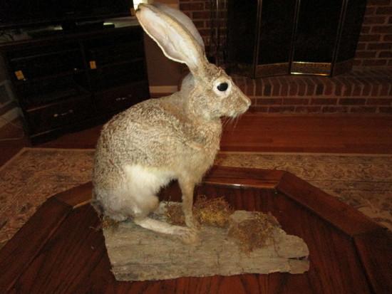 Jack Rabbit Full Body on Driftwood Taxidermy Mount