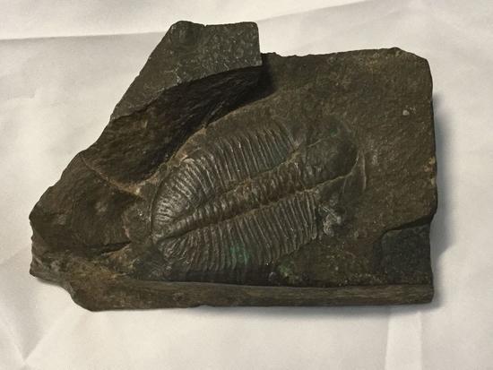1 x 3 x 4.5 inch Trilobite Fossil