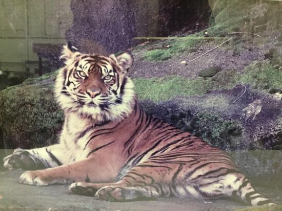 Framed tiger photograph signed by Dale Fishel