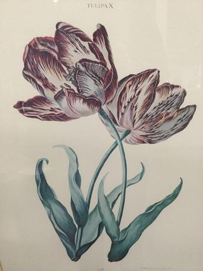 """Tulipa X"" scientific drawing Tulip print, 31x28 inches in professional frame"