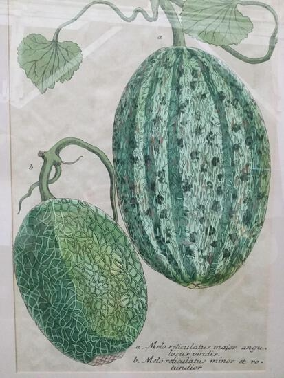 No. 722 scientific melon drawing print with antique look - latin names on bottom, professional frame
