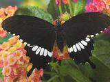 Darrell Guilin photo print of butterfly - Papilio Polutes - Common Mormon - signed by photographer.