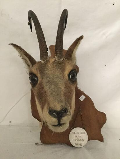Taxidermy mounted small horned deer head- believed to be Pronghorn
