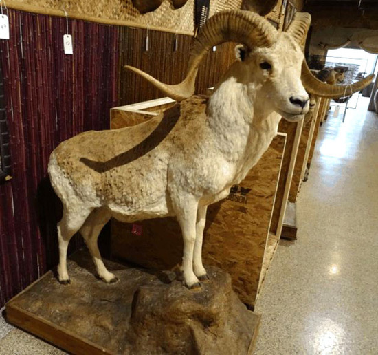 South Florida's  Largest Taxidermy Collector