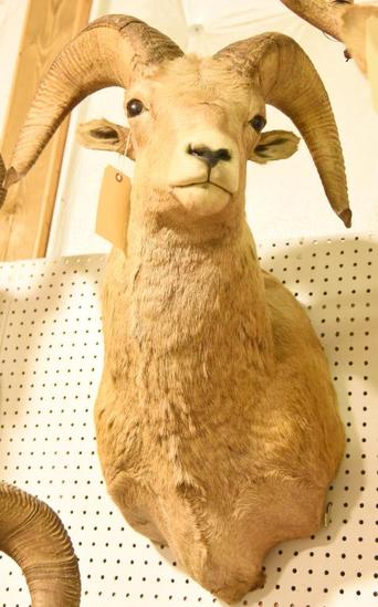 Rocky Mountain Big Horn Ram Mount Due to the Size Item needs to be picked up at  the Auction