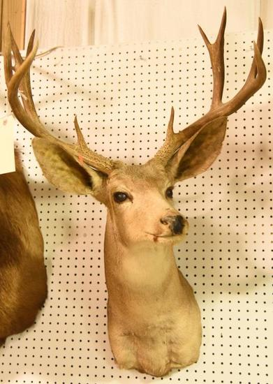 11 Pt. Mule Deer MountTHIS ITEM IS NOT SHIPPABLE. Due to the Size  Item needs to be picked up