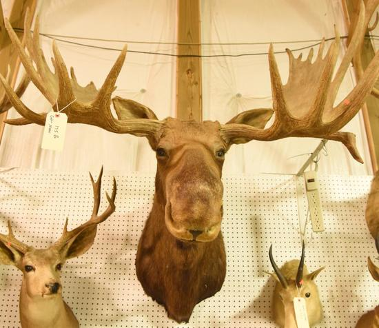 Eastern Moose Mount in Boone & Crockett Book. Boone & Crockett will come with the mount.