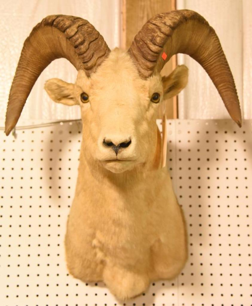 Dall Sheep MountDue to the Size Item needs to be picked up at  the Auction Facility.