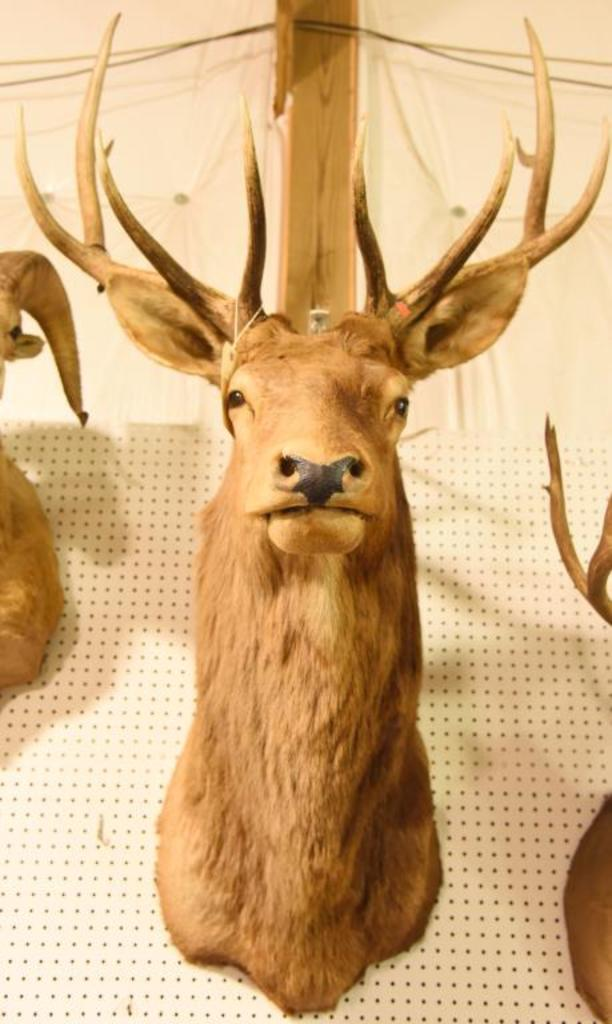 Rocky Mountain 5x5 Elk Mount with OriginalGame Tag. THIS ITEM IS NOT SHIPPABLE. Due to  the