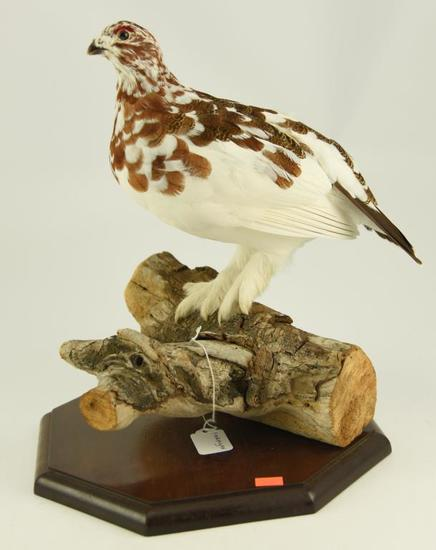 Lot #353A -Well executed Ptarmigan on driftwood taxidermy