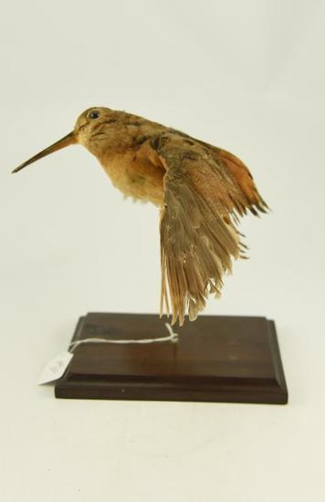 Lot #353B -Mounted Wood Cock in flying pose taxidermy