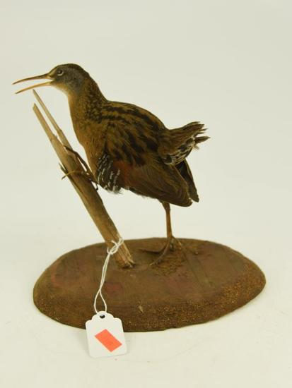 Lot #353C -Mounted Snipe taxidermy