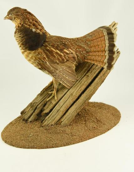 Lot #353G -Well executed Spruce Grouse on driftwood taxidermy mount