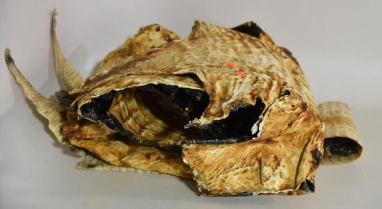 """Lot #1 -(2) alligator skins approx. 100"""" and 44"""""""