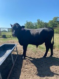 *NOT SOLD* 16 MONTH OLD REGISTERED ANGUS BULLS FERTILITY TESTED TAG#184