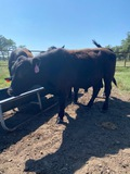 *NOT SOLD* 16 MONTH OLD REGISTERED ANGUS BULLS FERTILITY TESTED TAG#192