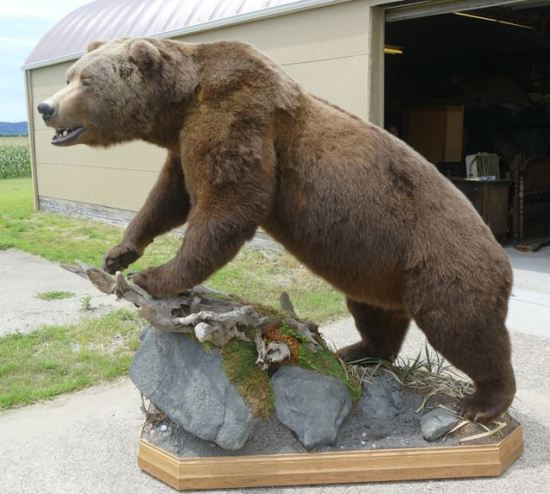 Alaskan Brown Bear 28-6/16 Boone & Crockett