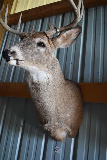 "8 Point Buck Deer Mount, 17"" Spread."