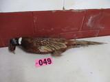 Mounted Pheasant