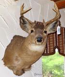 Deer head mount, 10 point buck is approx. 21