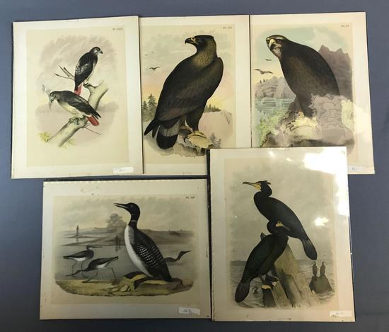 Group of 5 Antique Bird Prints