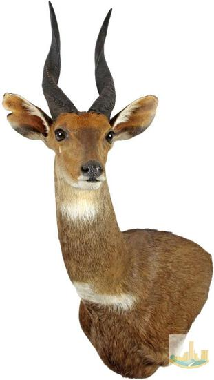 South African Bush Buck