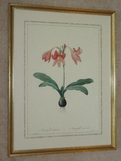 Botanical Amaryllis Pink Flower Bulb Print in Antiqued Gilted Patina Frame