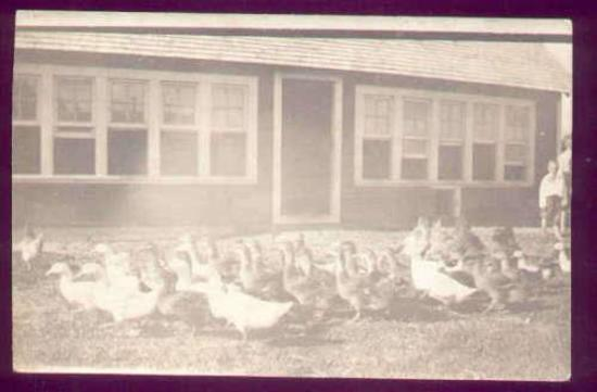 1910 PHOTO LARGE GROUP DUCKS & A FEW CHICKENS on FARM Interesting real photo postcard showing a