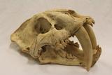 Porcelain Sabertooth Skull