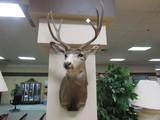 Taxidermy Deer Mount.