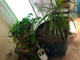 2 Live Plants, Fan, Floor Lamp and 3 Water Pitchers