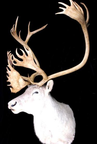 Caribou Trophy Taxidermy Shoulder Mount