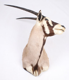 New Mexico Trophy Oryx Shoulder Mount