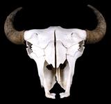 Great American Trophy Montana Buffalo Skull