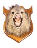 Trophy Boar Shoulder Mount
