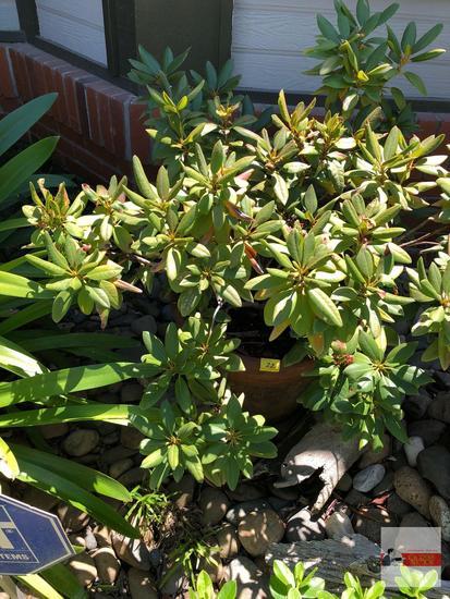 "Yard & Garden - potted shrub, 15""hx20""w (36"") pink Rhododendron"