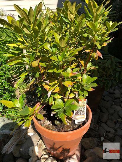 """Yard & Garden - potted shrub 12""""hx14""""w (36"""") """"Cunningham's White"""" Rhododendron"""